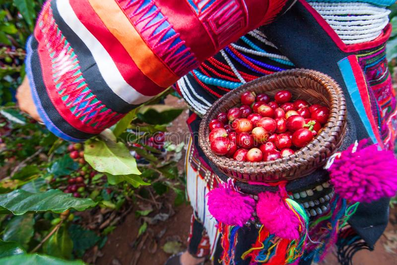 Femmes d'agriculteur d'Akha moissonnant des baies de café d'arabica dans l'arbre photos stock