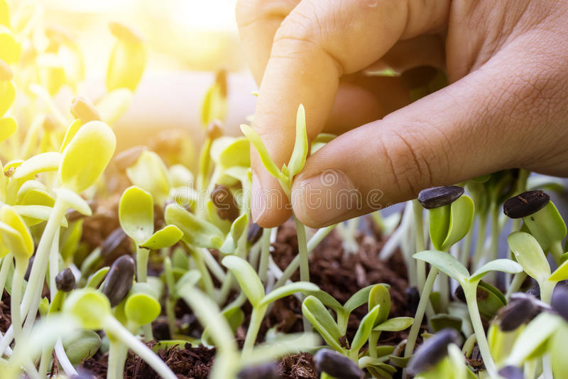 Femmes de main tirant des jeunes plantes des usines photos stock