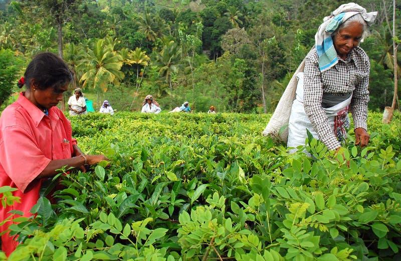 femmes de thé de récolteuses image stock