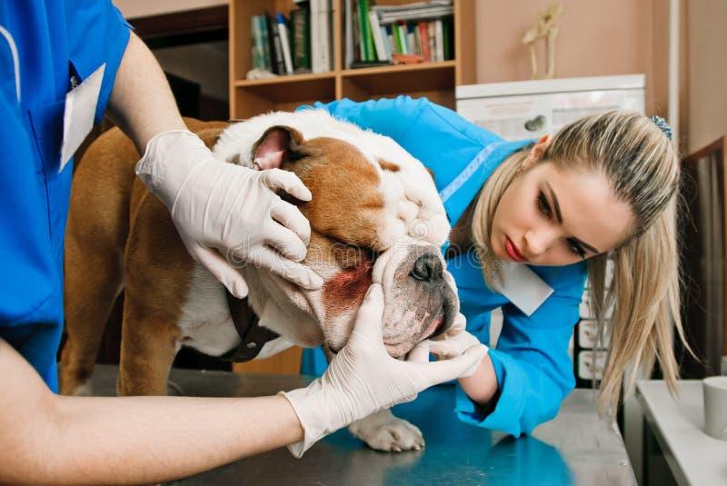Femmes de vétérinaires photo stock