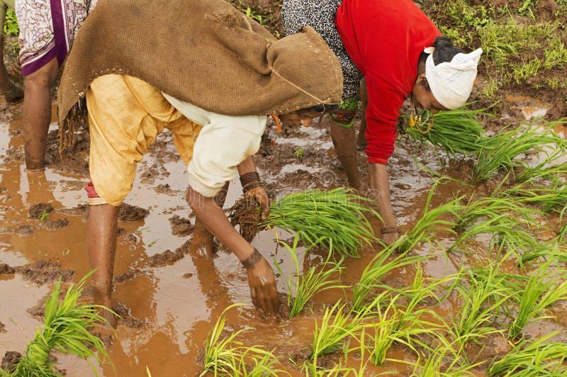Femmes indiennes plantant des jeunes arbres de riz près de Varandhaghat, Pune photographie stock