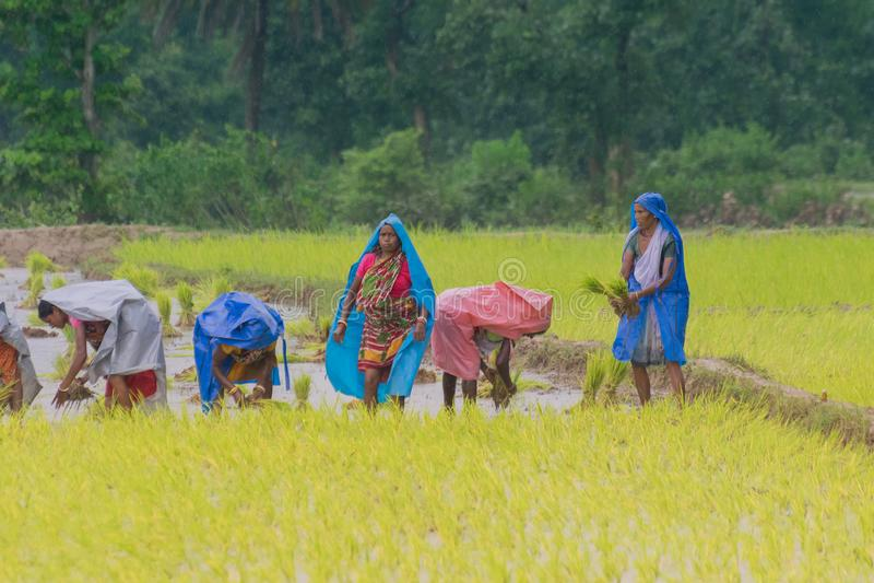 Femmes rurales indiennes cultivant le paddy images stock