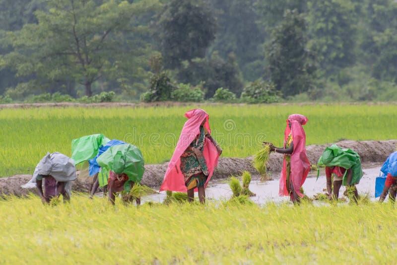 Femmes rurales indiennes cultivant le paddy image libre de droits