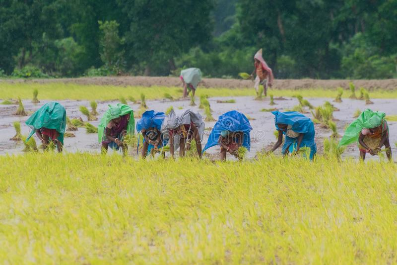 Femmes rurales indiennes cultivant le paddy image stock