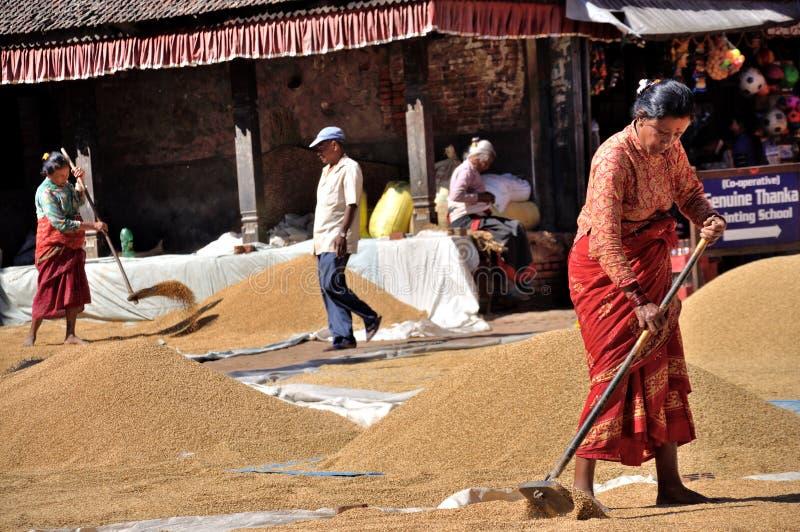 Femmes séchant le riz images libres de droits