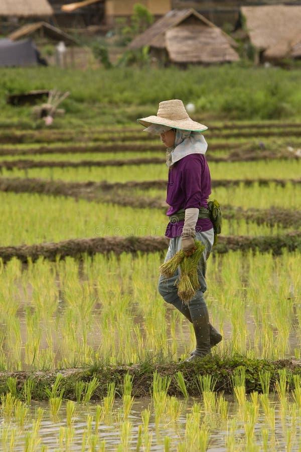 Femmes thaïlandaises travaillant dans le domaine de riz photo stock