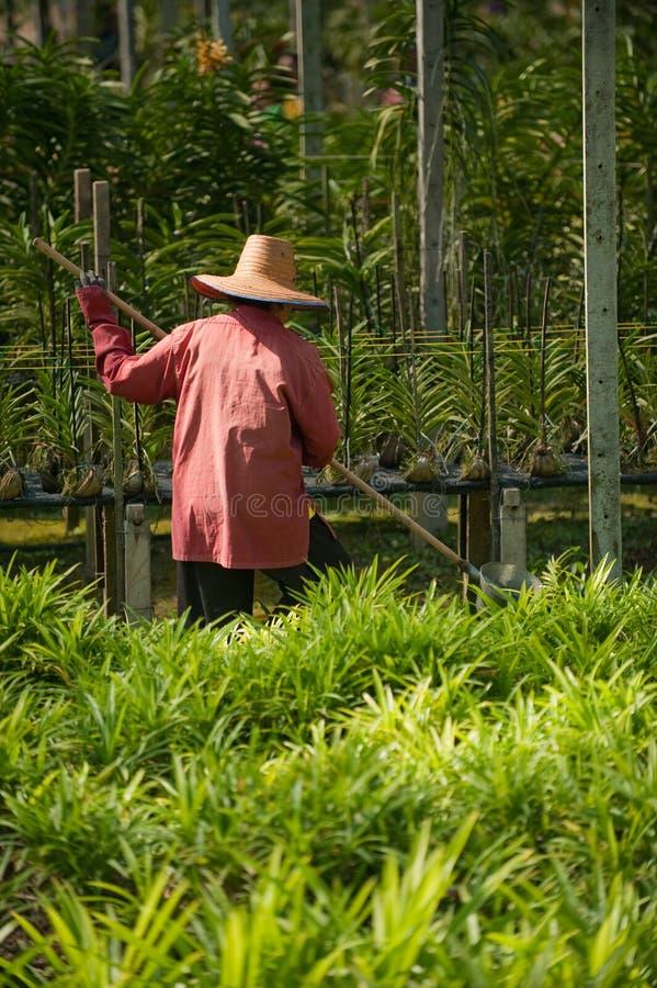 Femmes travaillant dans la ferme thaïe d'orchidée photos stock