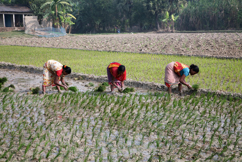 Femmes travaillant dans la plantation de riz photos stock