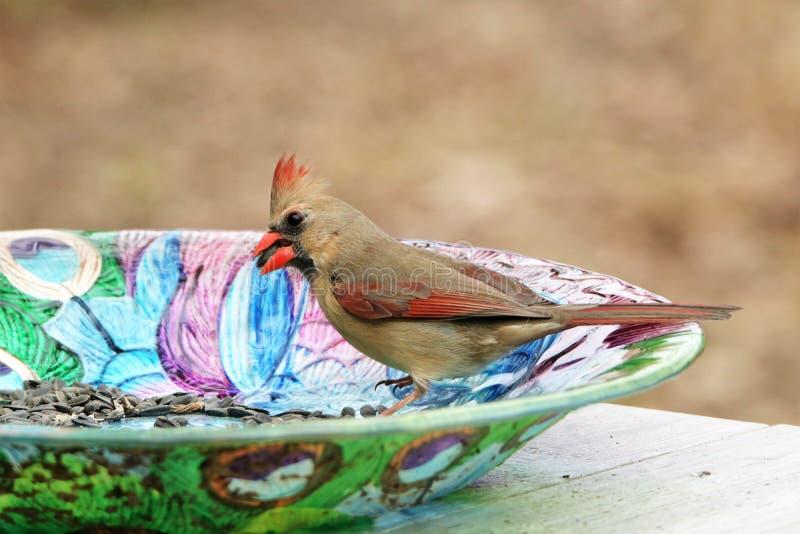 Femmina cardinale sull'alimentatore variopinto dell'uccello fotografie stock libere da diritti