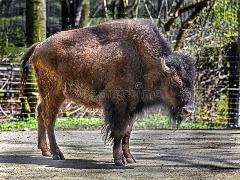 Femmina 6 del bisonte immagine stock libera da diritti