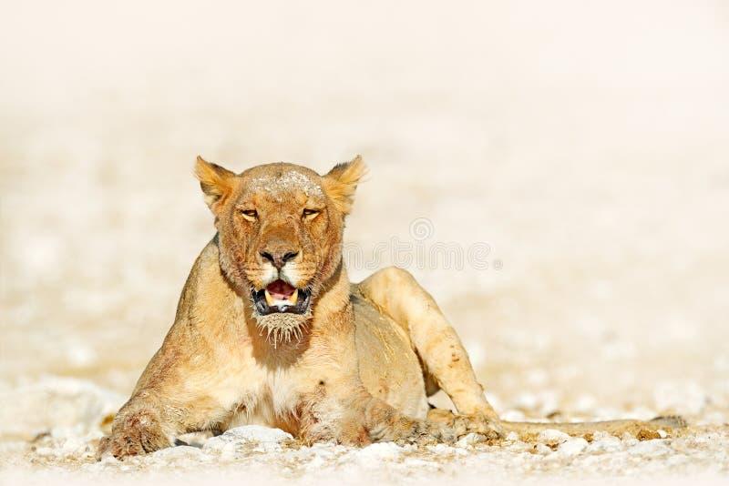 Femmina del leone in pentola di Etosha, Namibia Leone africano che si trova in sabbia, bella luce uguagliante, periodo di siccità fotografia stock libera da diritti