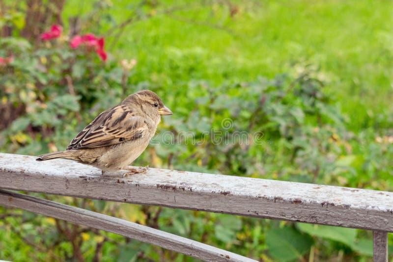 Femmina del passero (domesticus del passante) sul backgro di verde della natura fotografia stock