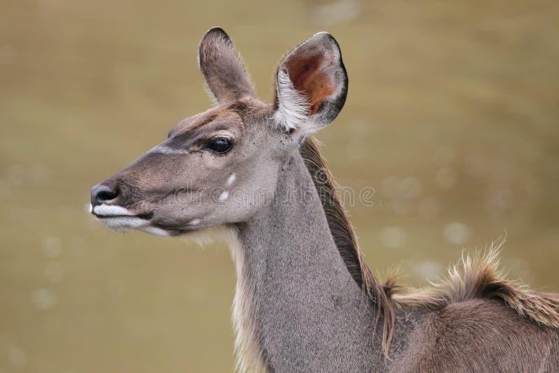 Femmina dell'antilope di Kudu immagini stock
