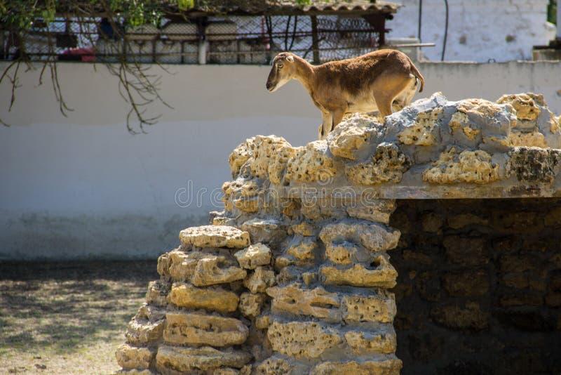 Femmina dell'ovis musimon europeo di muflone fotografia stock