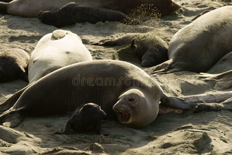 Femmina della guarnizione di elefante che comunicating ad un piccolo cucciolo su una spiaggia sabbiosa fotografia stock