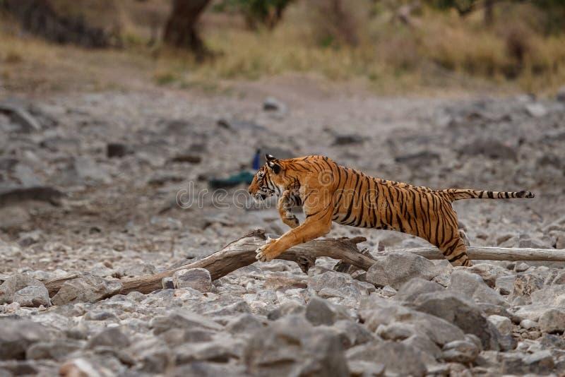 Femmina della tigre che è in corsa per la sua preda, cervo del sambar Caccia di Unsuccesful fotografia stock libera da diritti