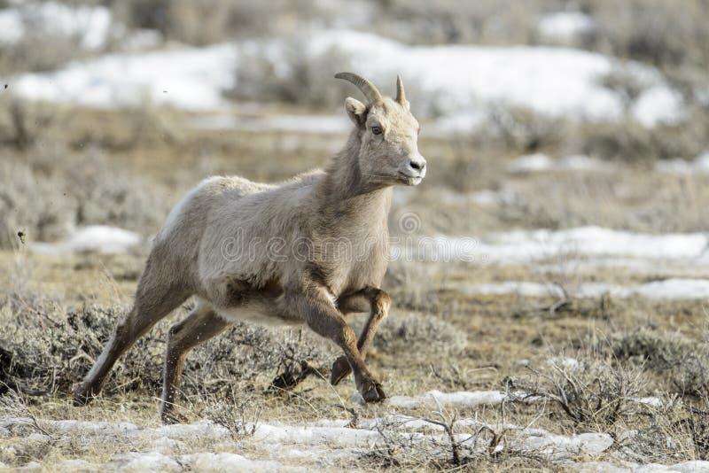 Femmina delle pecore Bighorn, corrente fotografia stock