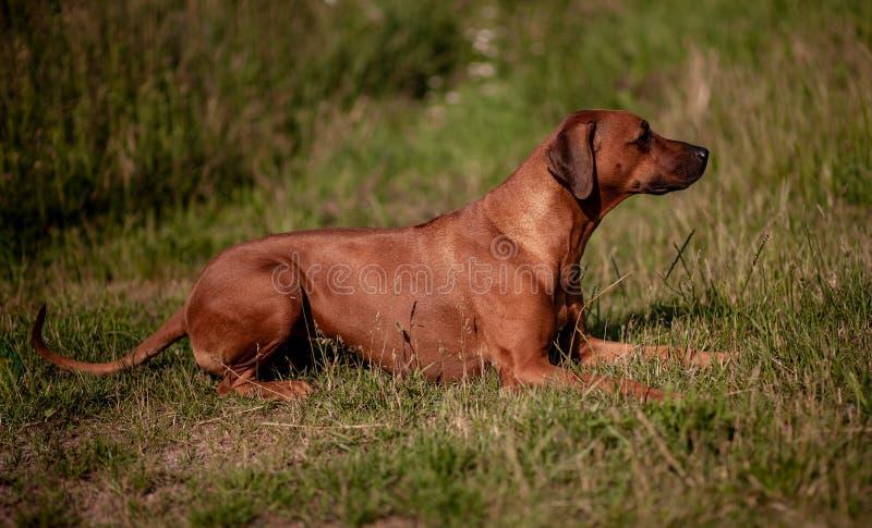 Femmina di Rhodesian Ridgeback - insegua la menzogne sull'erba immagini stock