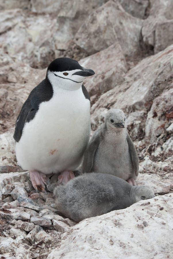 Femmina e due pinguini del chinstrap dei pulcini. fotografie stock libere da diritti