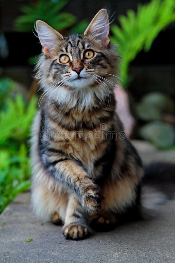 Femmina norvegese dolce del gatto della foresta con gli occhi molto grandi ed espressivi immagine stock libera da diritti