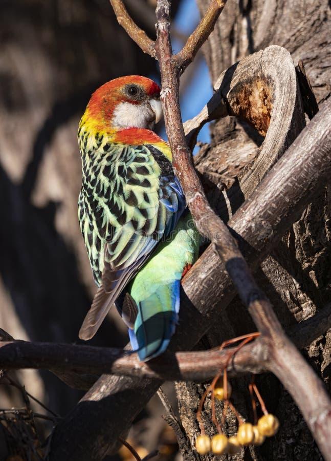 Femmina orientale del pappagallo di Rosella appollaiata in albero fotografia stock