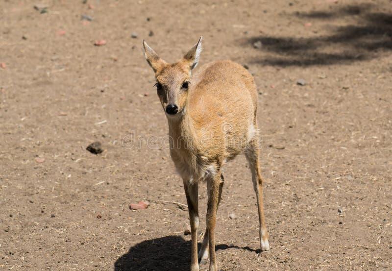 femmina Quattro-cornuta dell'antilope fotografie stock