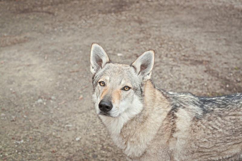 Femminile wolf dog mezzo ritratto del corpo con gli occhi con uno sguardo intenso dritto verso la telecamera fotografia stock