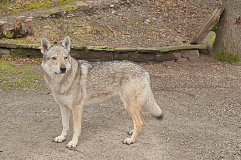 Femminile wolf dog ritratto del corpo pieno con gli occhi con uno sguardo intenso e diretto verso la telecamera immagine stock libera da diritti