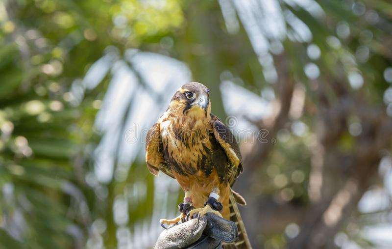 Femoralis de Falco del halcón de Aplomodo del halconero prisionero encaramados en la mano del halconero imágenes de archivo libres de regalías