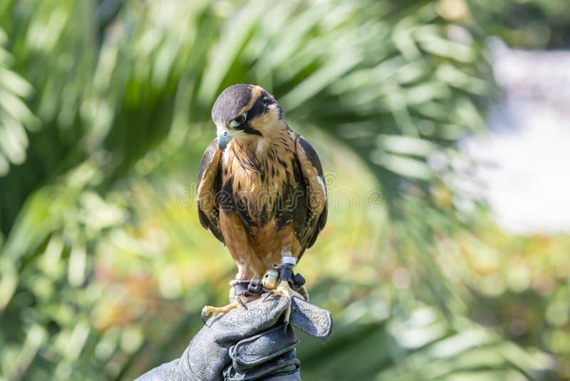 Femoralis de Falco del halcón de Aplomodo del halconero prisionero sostenidos por su dueño en México fotos de archivo libres de regalías