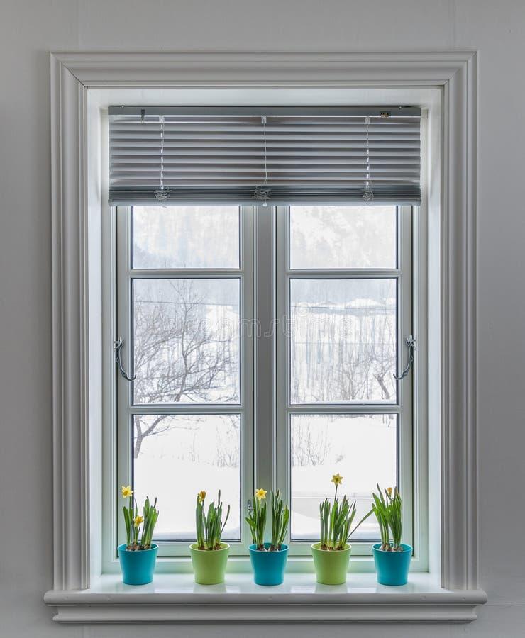 Fenêtre avec aveugle, décoré des pots de fleurs colorés de jonquilles naines, narcisse Printemps avec l'extérieur de neige images stock