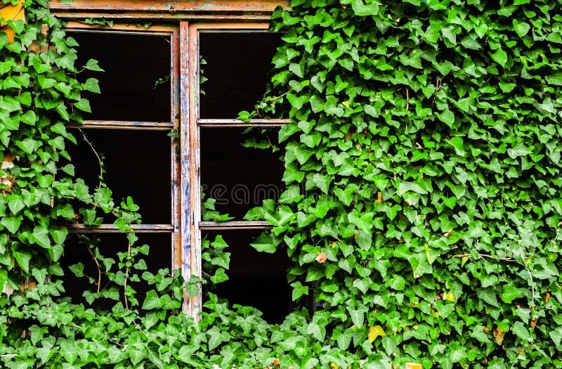 Fenêtre cassée d'un bâtiment abandonné couvert à l'usine verte de lierre photographie stock libre de droits