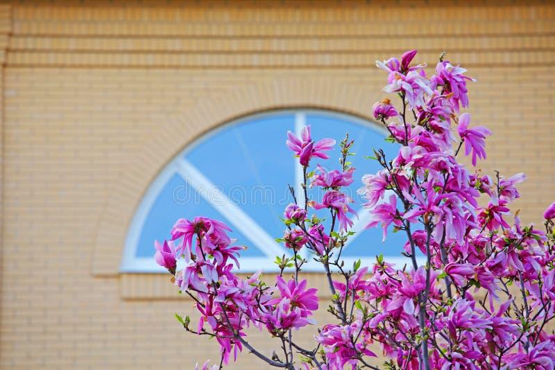Fenêtre rose de fleur d'arbre de magnolia personne photo libre de droits