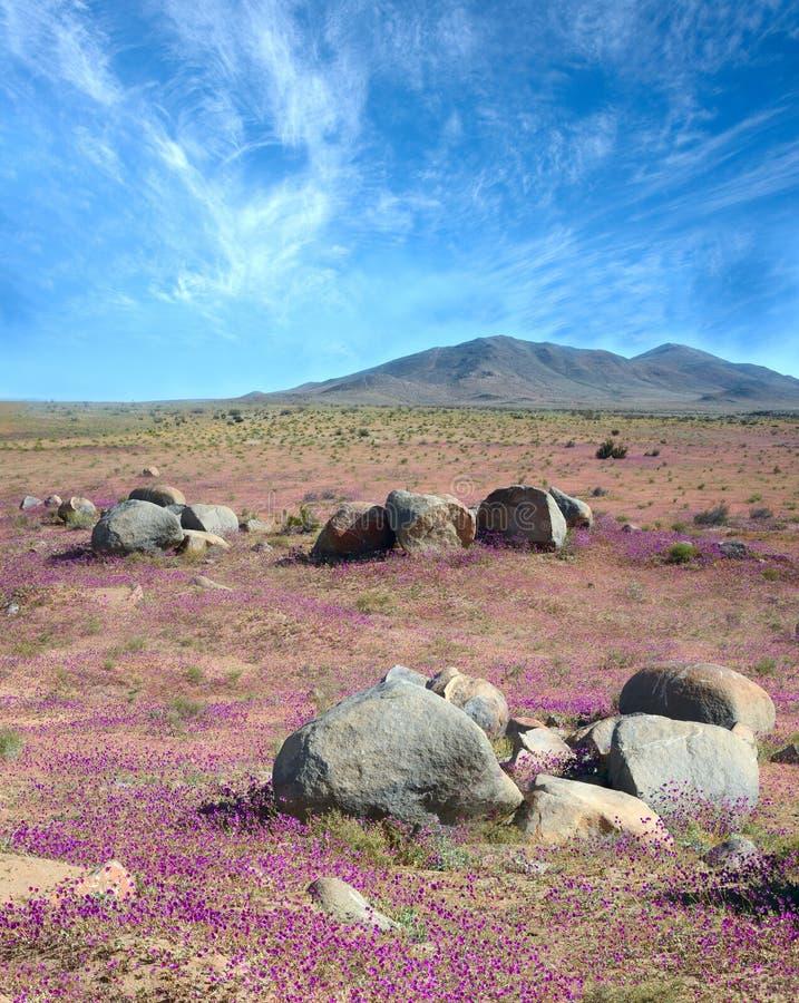 Fenômeno do deserto de florescência no Atacama chileno imagens de stock