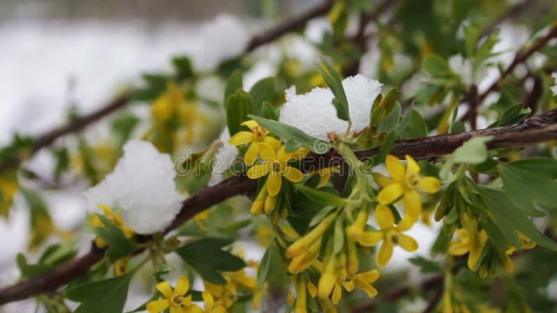Fenômeno raro Neve na mola Ramos da árvore de florescência em que a neve se encontra Neve em flores Por do sol espectacular vídeos de arquivo