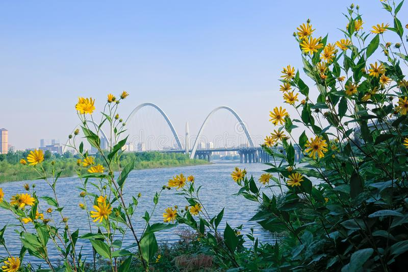 Fen River Scenery. The Jerusalem artichoke are blooming on bank of Fen River in Taiyuan, Shanxi, China royalty free stock photos