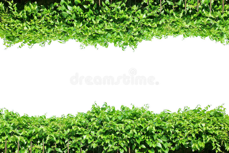 Fence green leaves, plant frame border, vines wall garden, tree isolated royalty free stock photography