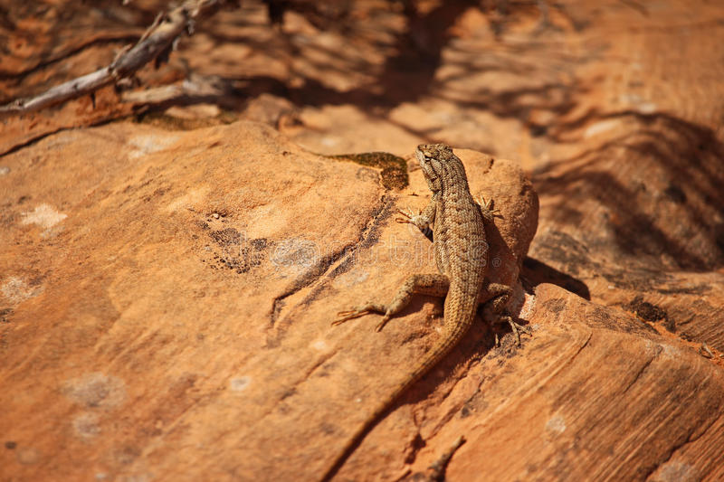 A fence lizard sits on a sandstone boulder. A fence lizard sits in the desert sun on a sandstone boulder stock image