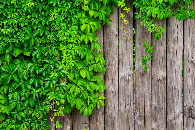 A fence made of wood with wild grapes curly ivy royalty free stock images
