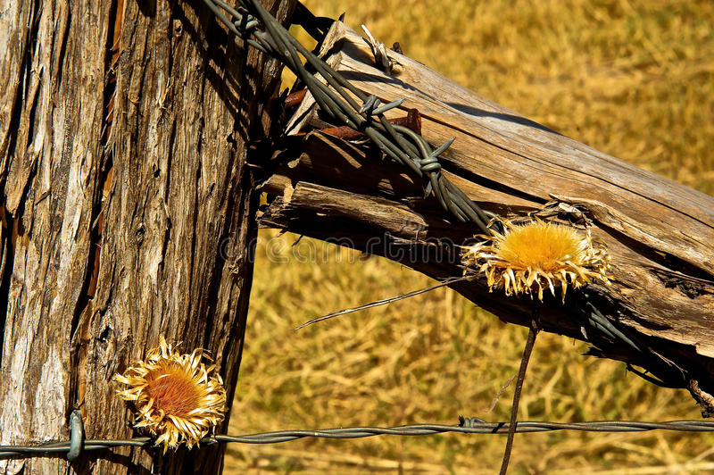 Fence Post Barbed Wire and Dried Flowers stock images