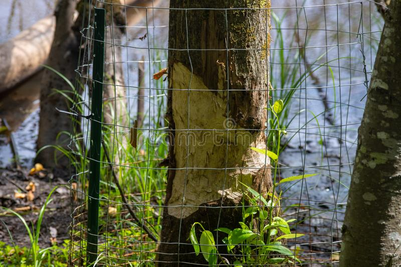 Fence protecting the tree from the North American beaver Castor canadensis who uses sharp teeth to chop it down stock photos