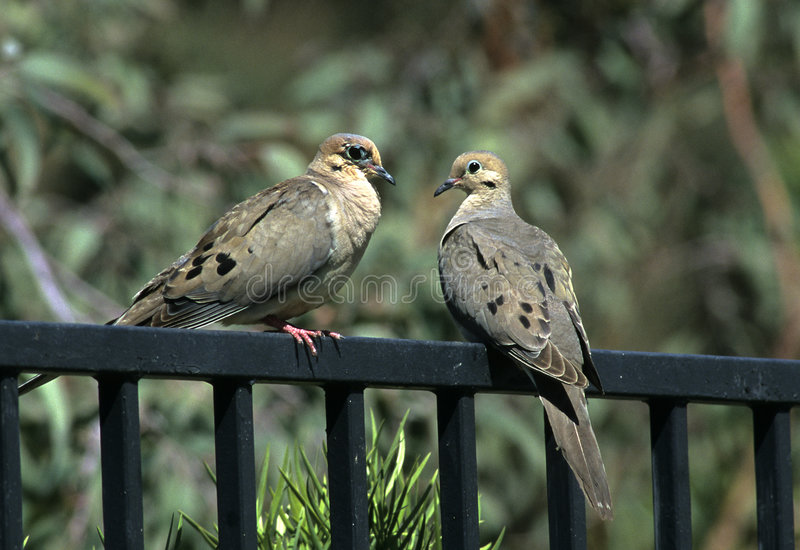 Download Fence Sitters stock image. Image of pigeon, backyard, dove - 49841