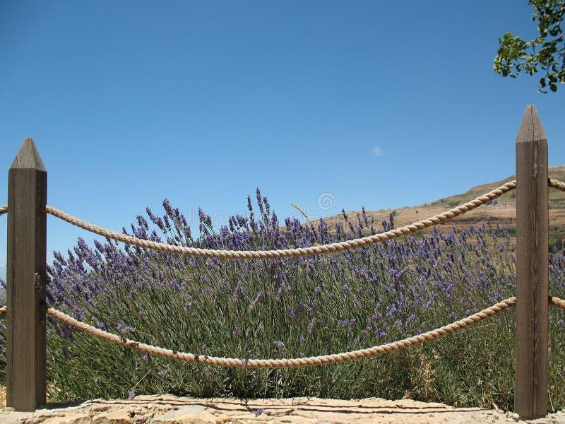 Download Fenced Lavender Bush stock photo. Image of blue, fence - 31917756