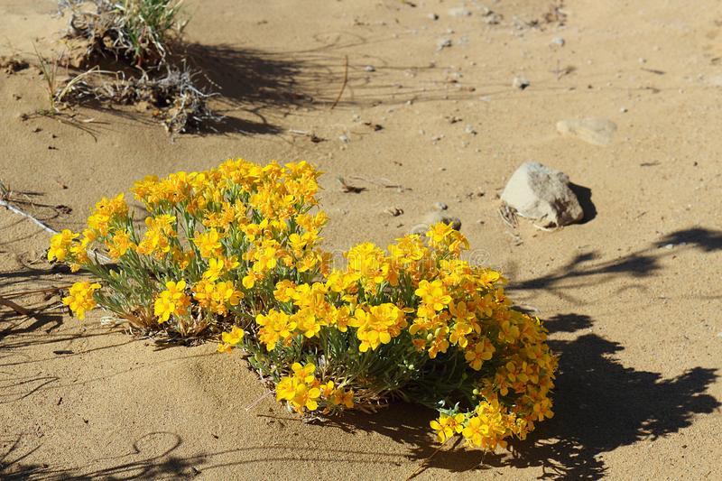 Fendler`s Bladderpod, Physaria fendleri, in Chaco Canyon, New Mexico stock images