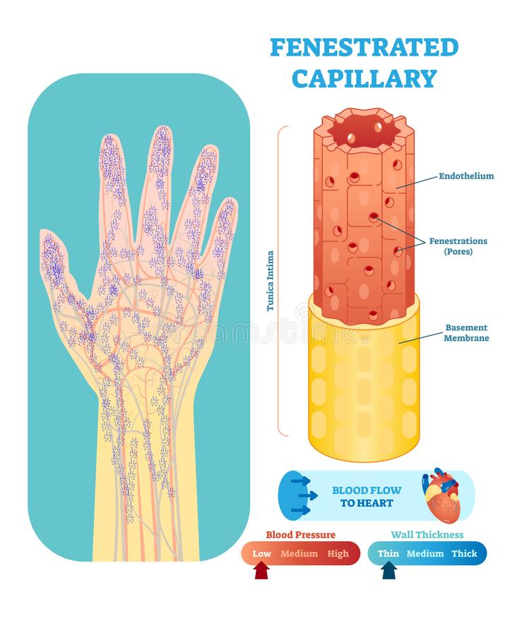 Fenestrated capillary anatomical vector illustration cross section. Circulatory system blood vessel diagram scheme. vector illustration
