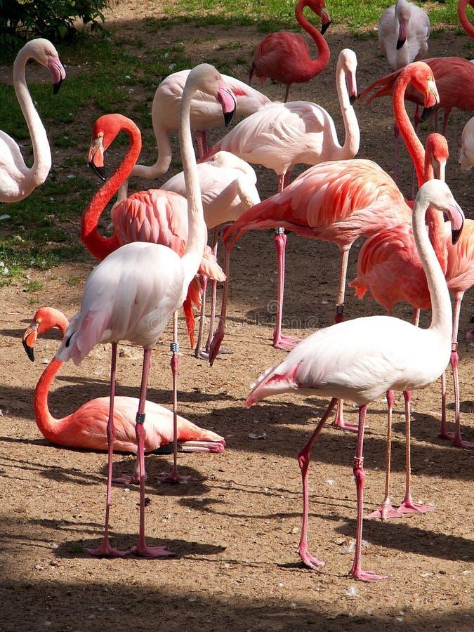 Download Fenicotteri fotografia stock. Immagine di flamingos, scrag - 202464