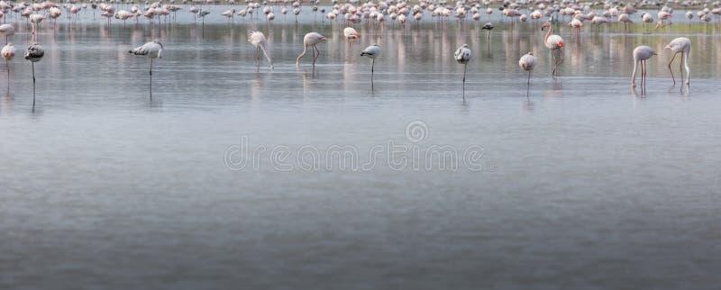 Fenicotteri africani nel lago sopra il bello tramonto, moltitudine di ex fotografia stock