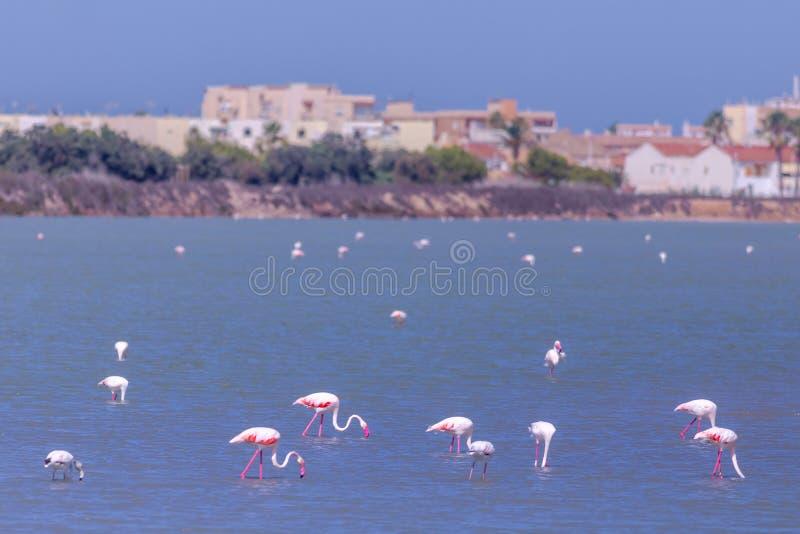 Fenicotteri che camminano nel lago di sale, Spagna fotografia stock libera da diritti