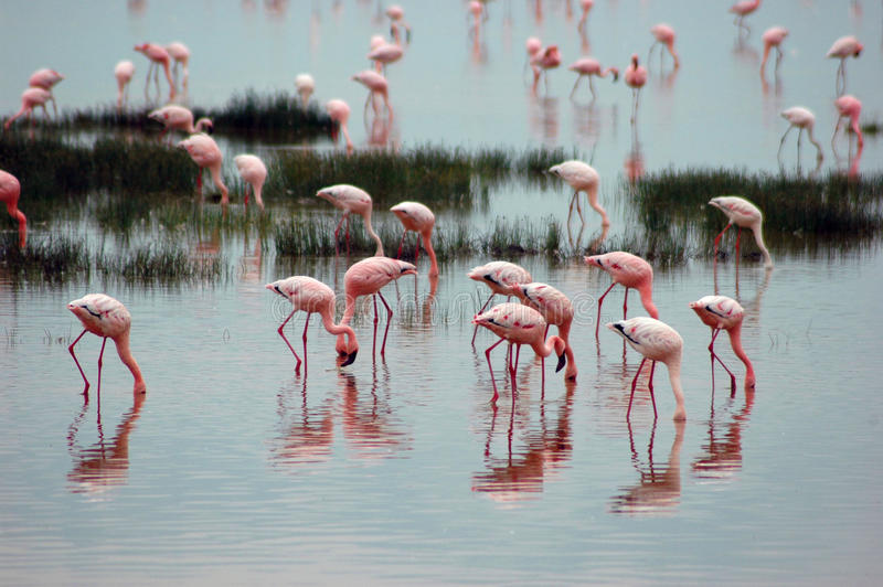 Fenicotteri in lago in Tanzania, Africa fotografia stock libera da diritti