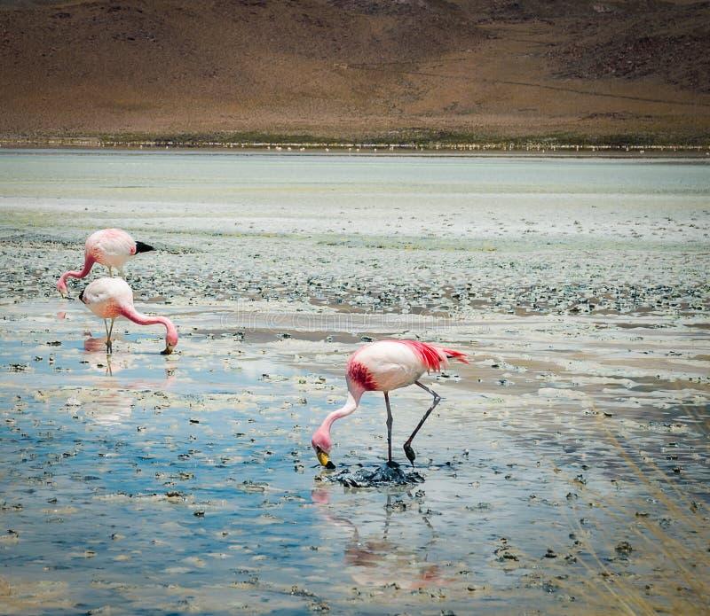 Fenicotteri nel lago immagine stock libera da diritti